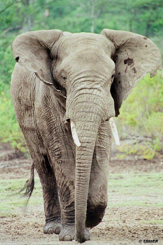 Afrikanischer Elefant/Elephant/Tembo