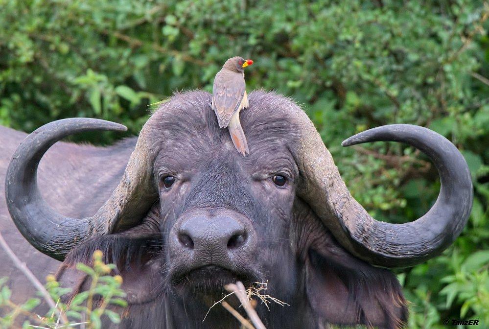 Afrikanischer Büffel/Buffalo