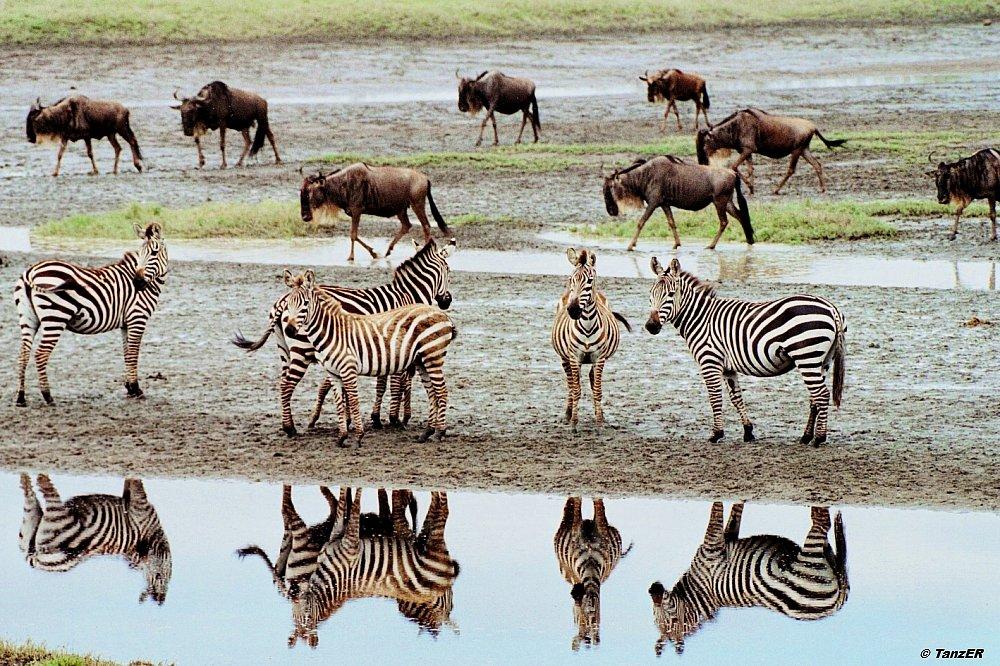 Zebra und Gnu