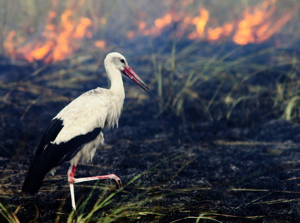 Weisstorch/White Stork