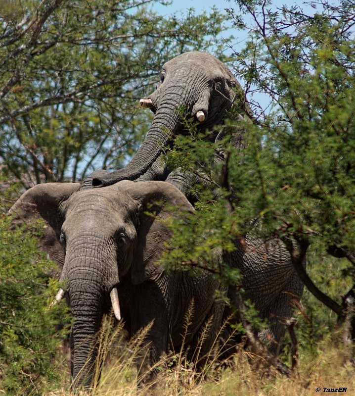 Serengeti 2006