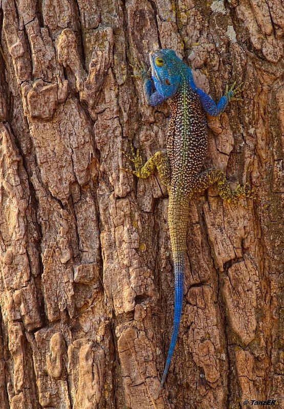 Blaukehlagame/Blue-headed Tree Agama