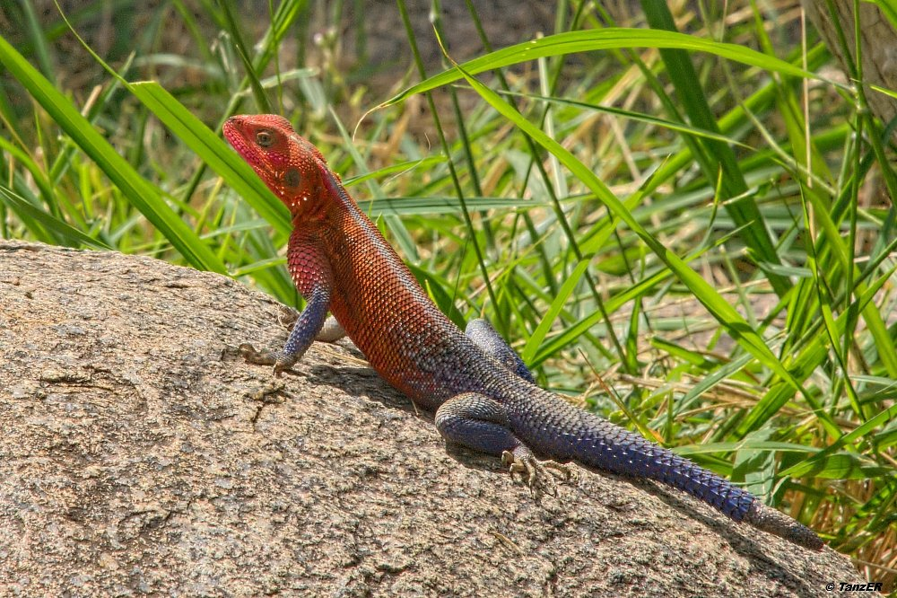 Siedleragame/Red-headed Rock Agama/Mjusi kafiri