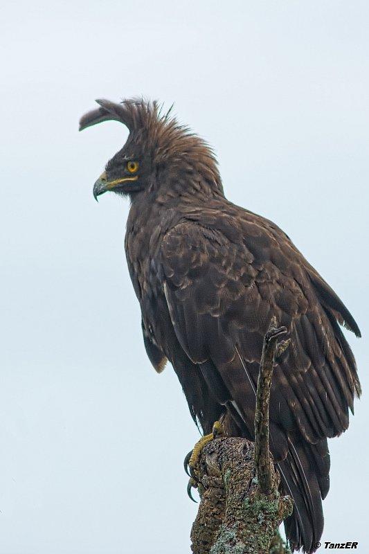 Schopfadler/Long-crested Eagle