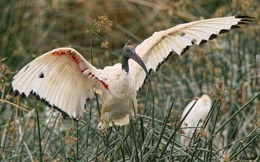 Heiliger Ibis/Sacred Ibis