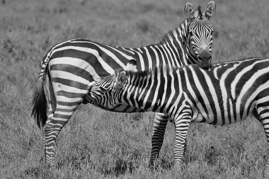 Steppenzebra/Plains or Grant's Zebra/Punda milia