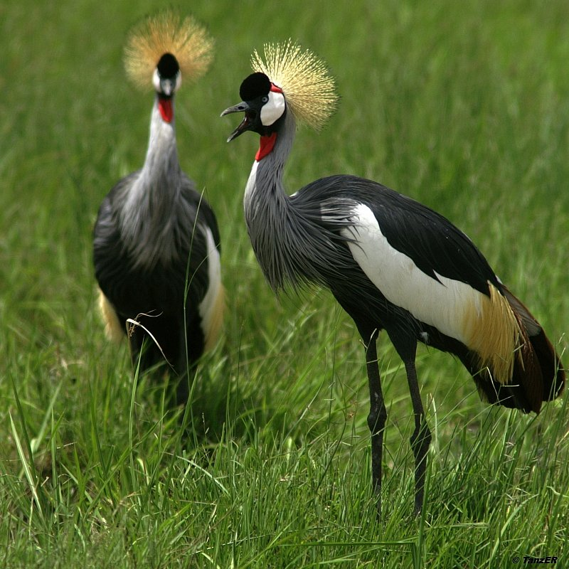Kronenkranich/Grey Crowned Crane