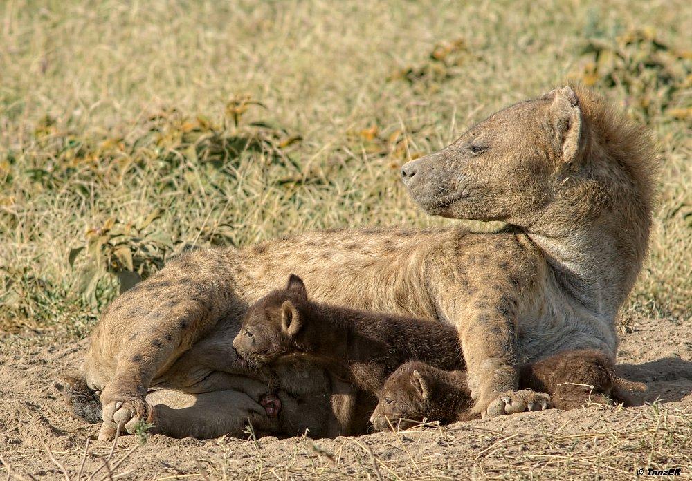 Tüpfelhyäne/Spotted Hyena/Fisi madoa