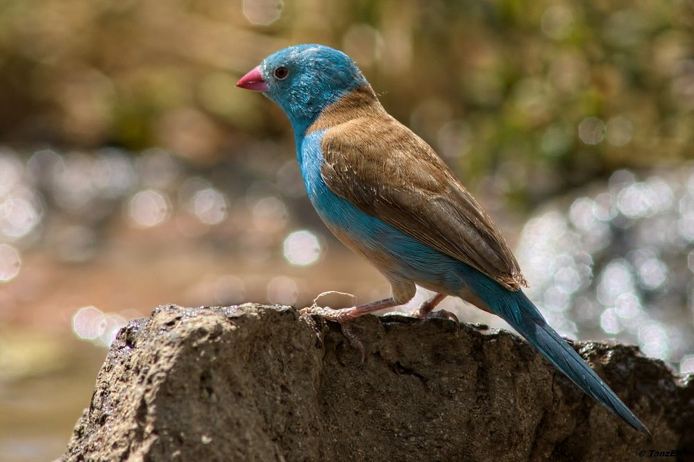 Blaukopf-Astrild/Blue-capped Cordon-bleu