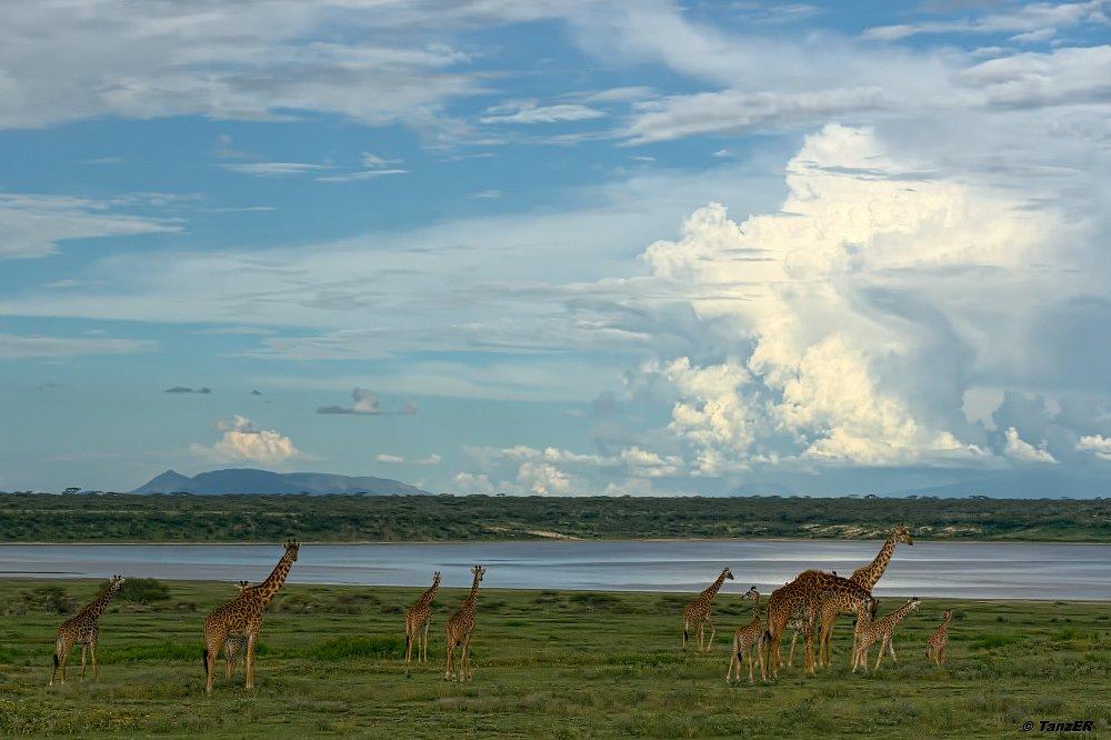 Massai-Giraffe/Masai-Girafe/Twiga