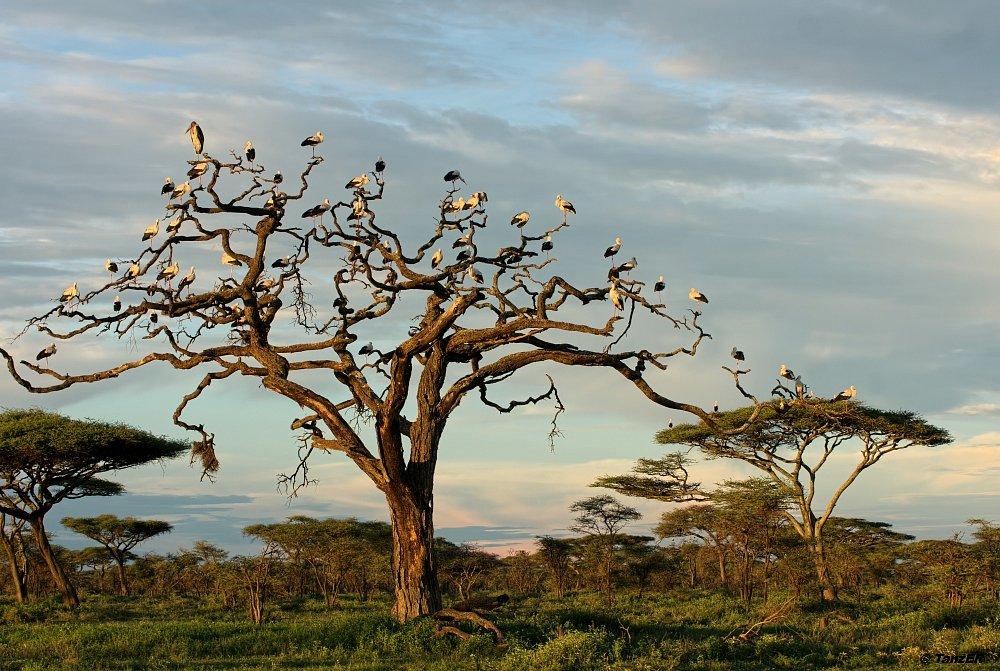Weissstorch/White Stork