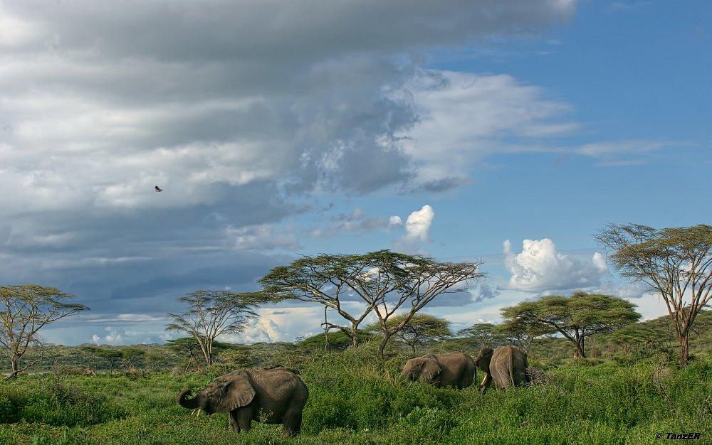 Afrkanischer Elefant/African Elephant/Tembo