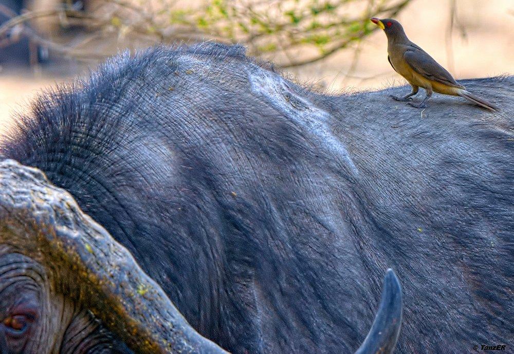 Büffel mit Gelbschnabel-Madenhacker