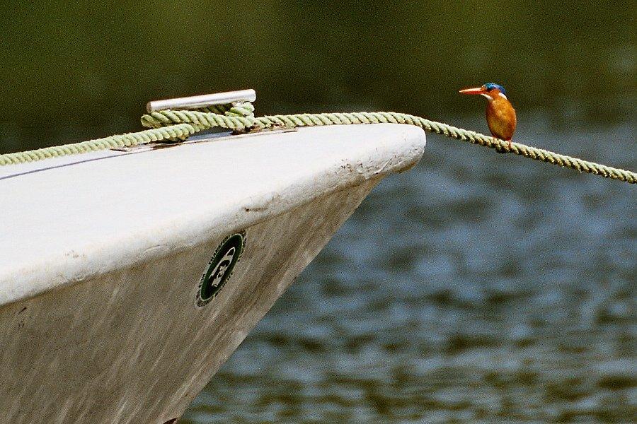 Haubenzwergfischer/Malachite Kingfisher