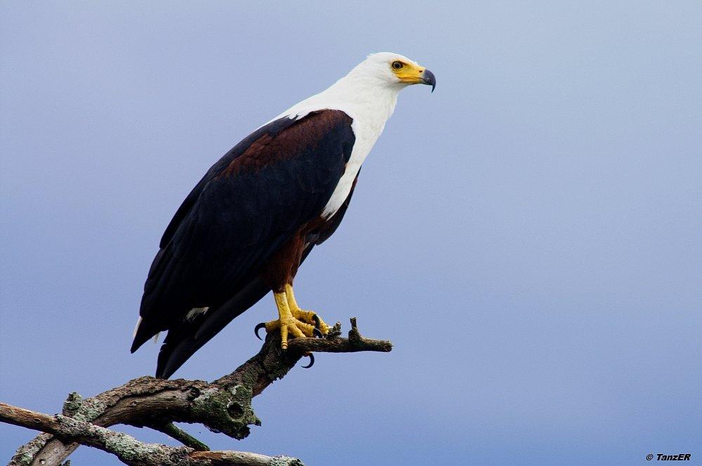 Schreiseeadler/African Fish Eagle