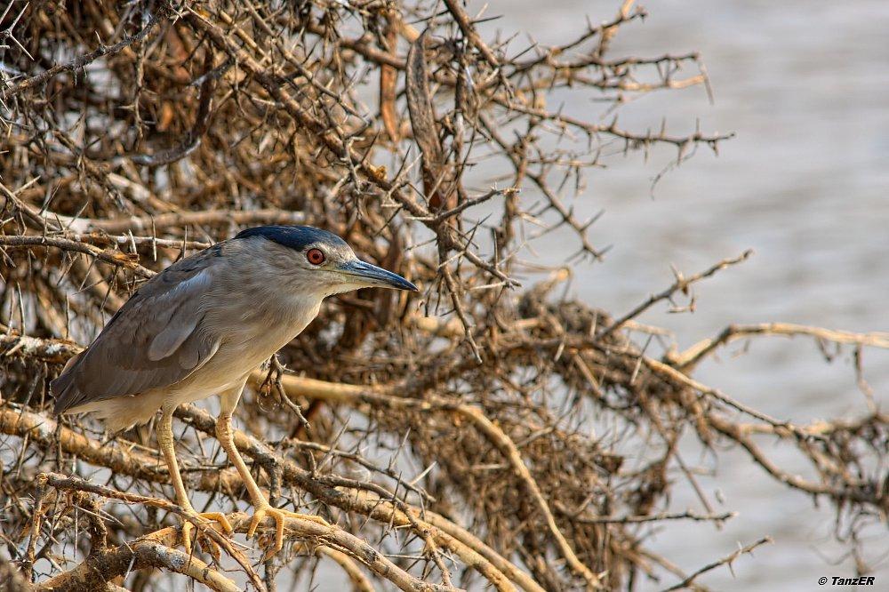 Nachtreiher/Black-crowned Heron