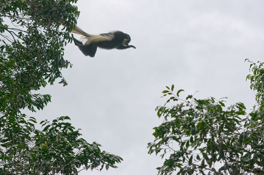 Mantelaffe/Guereza/black-and-white Colobus