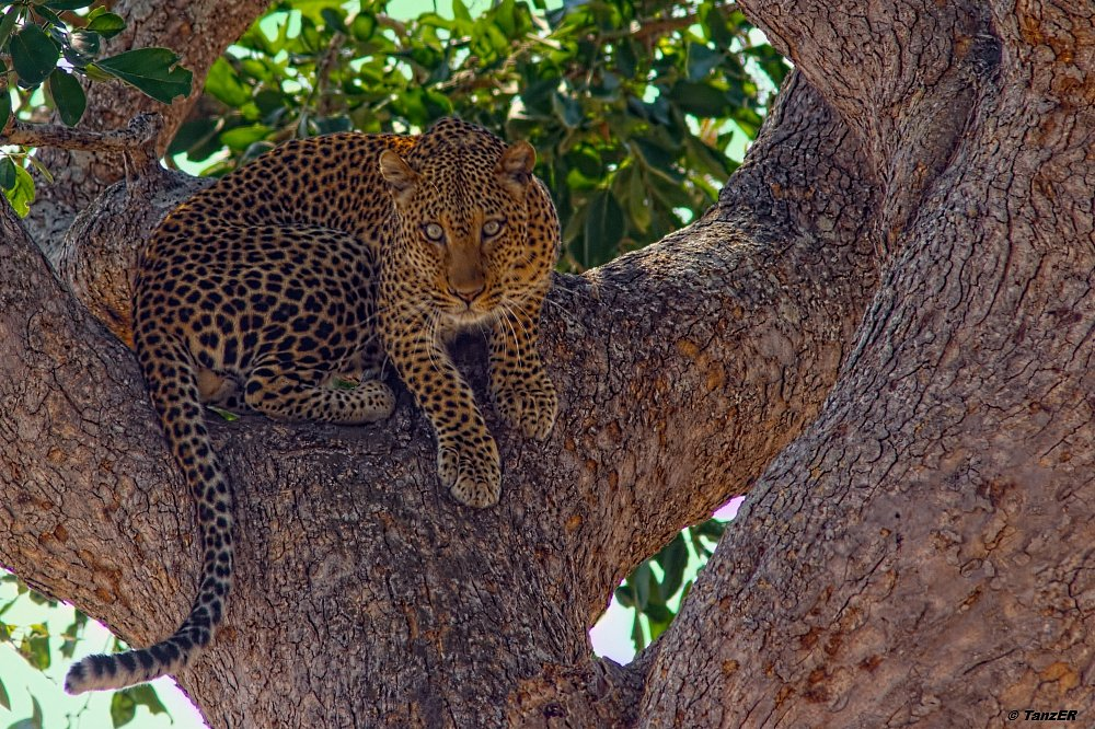 Leopard/Leopard/Chui