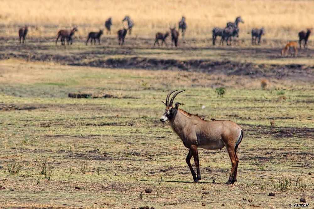 Pferdeantilope/Roan Antelope/Korongo