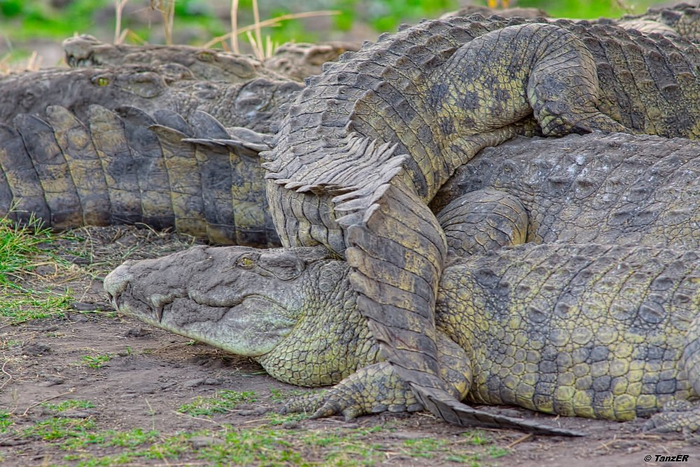 Nil-Krokodil/Nile Crocodile/Mamba