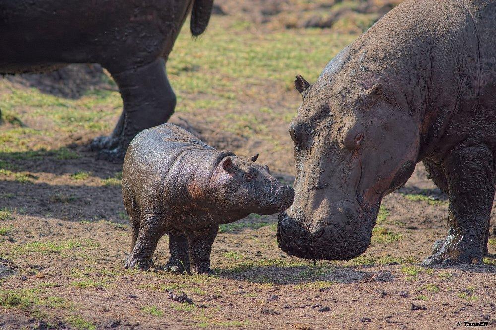 Nilpferd/Hippopotamus/Kiboko