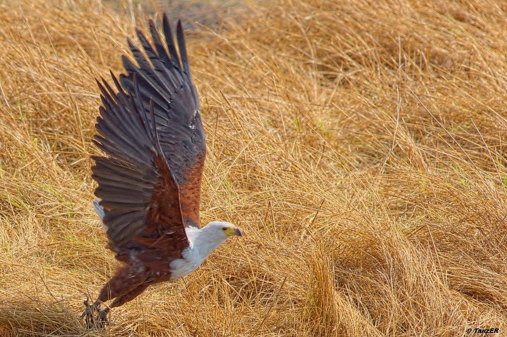 Schreiseeadler/African Fish-Eagle