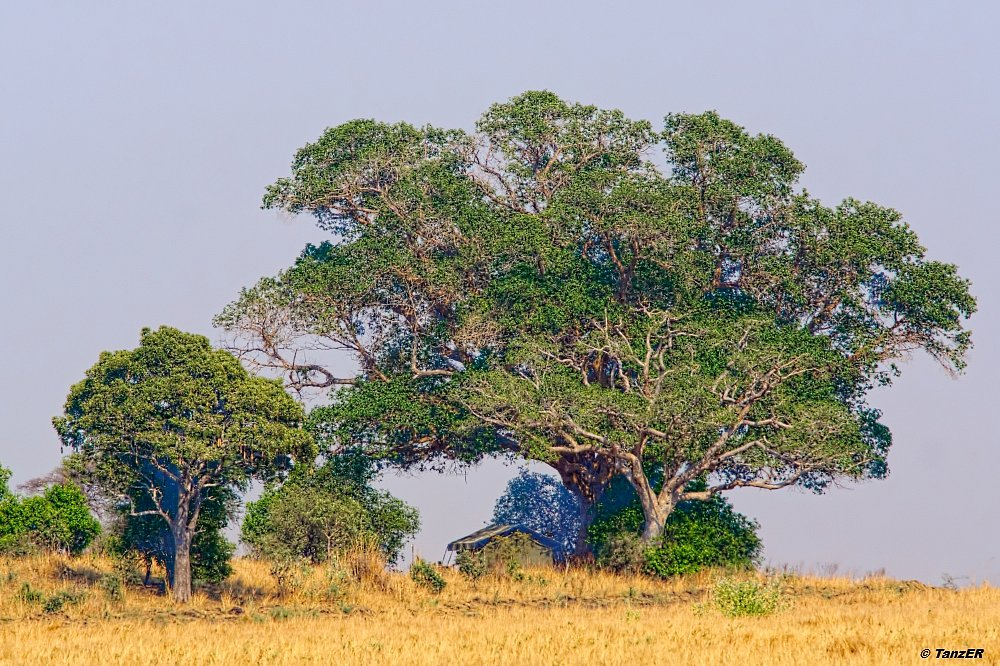 Mächtiger Feigenbaum