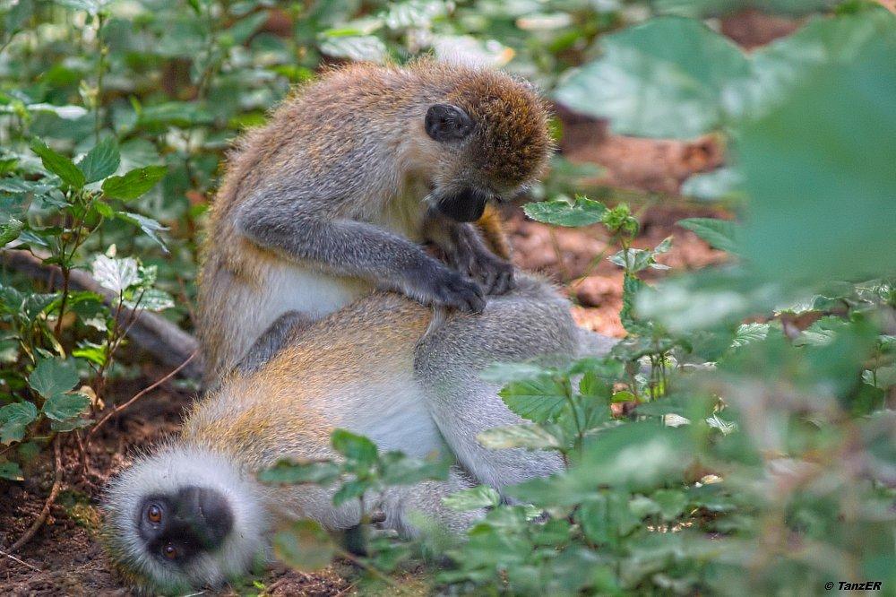 Grünmeerkatze/Vervet Monkey