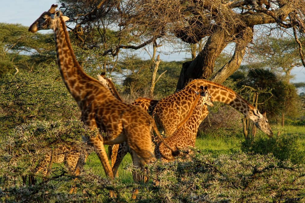 Massai-Giraffe/Masai-Giraffe/Twiga