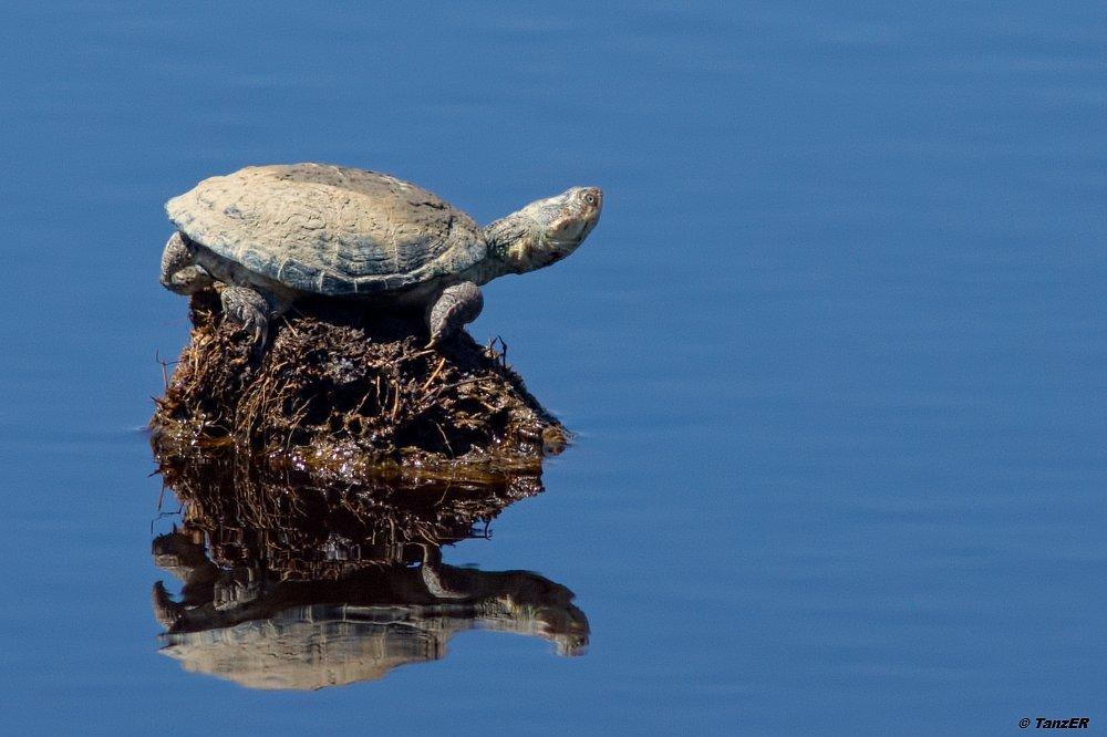 Starrbrust-Pelomeduse/African helmeted turtle