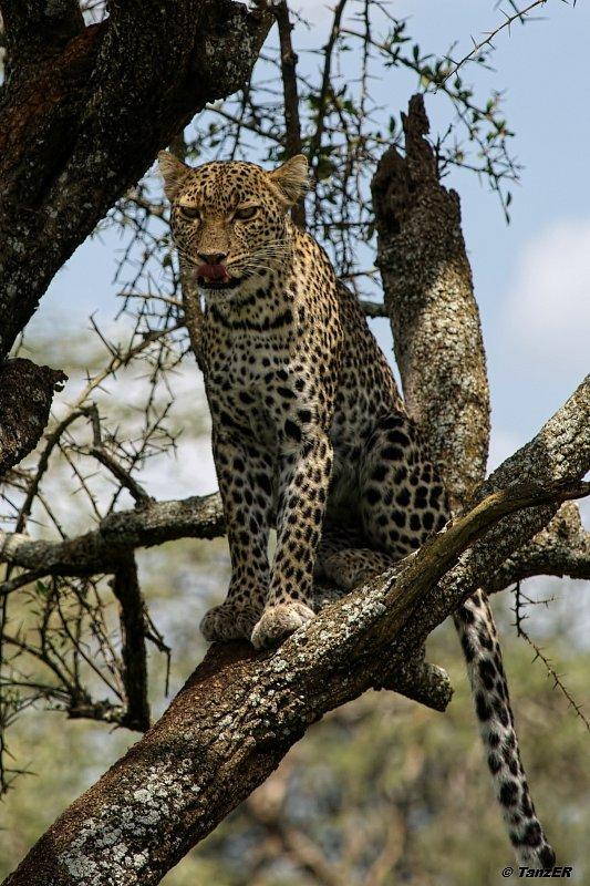 Leopard/Chui