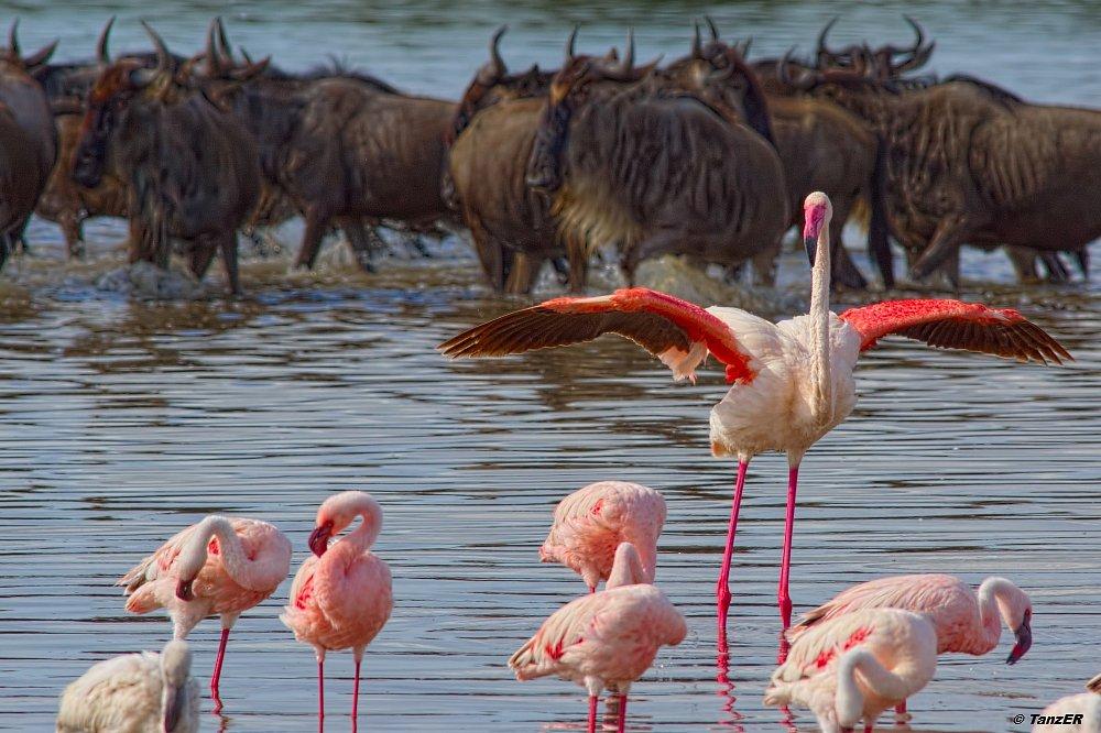 Flamingo und Weissbartgnu