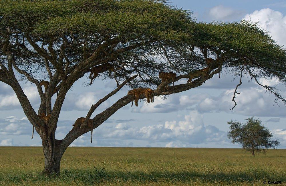 Baum voller Löwen