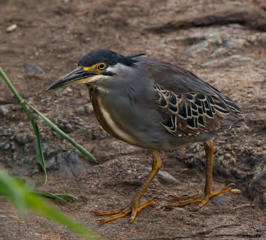 Mangrovereiher/Green-backed Heron