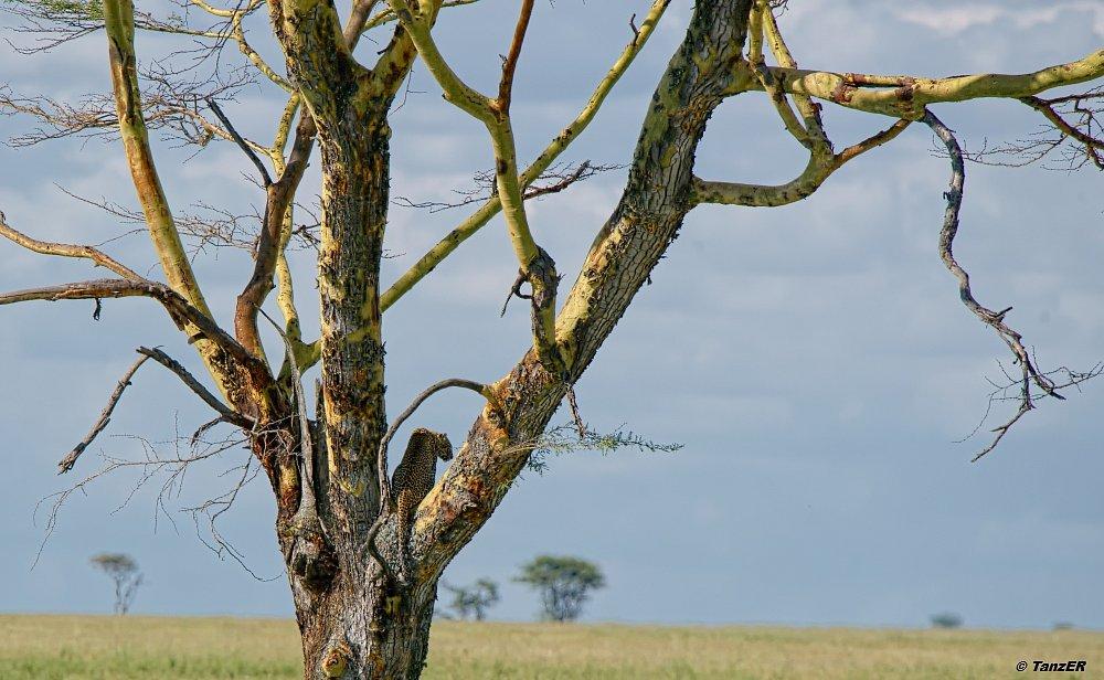 Leoparden-Baum