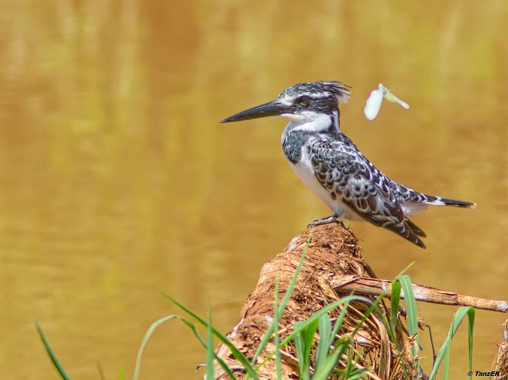Graufischer/Pied Kingfisher