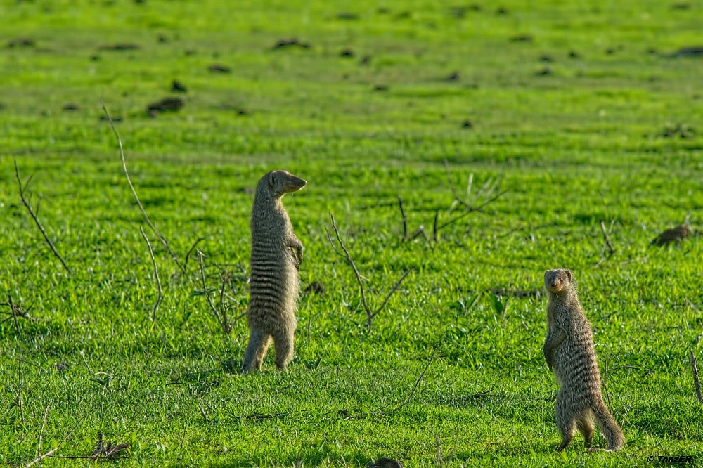 Zebra-Manguste/Banded Mongoose/Nkuchiro miraba