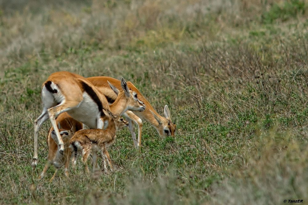 Thomson Gazelle/Thomson's Gazelle/Swala tomi