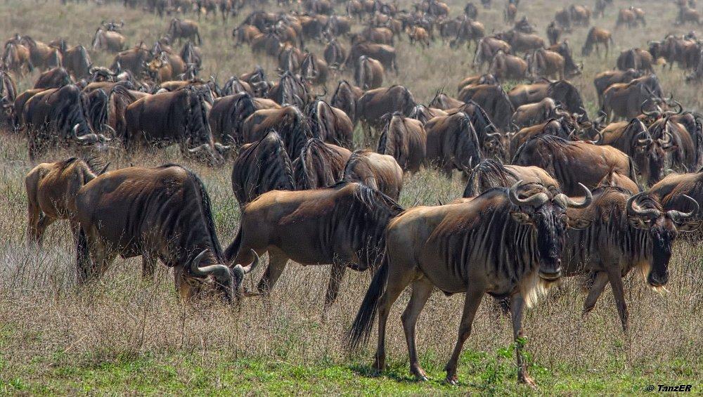 Weissbartgnu/Wildebeest/Nyumbu