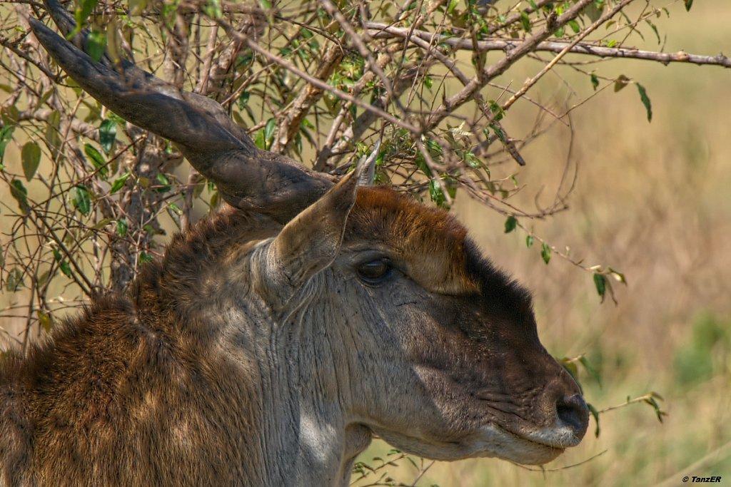 Elen-Antilope/Eland