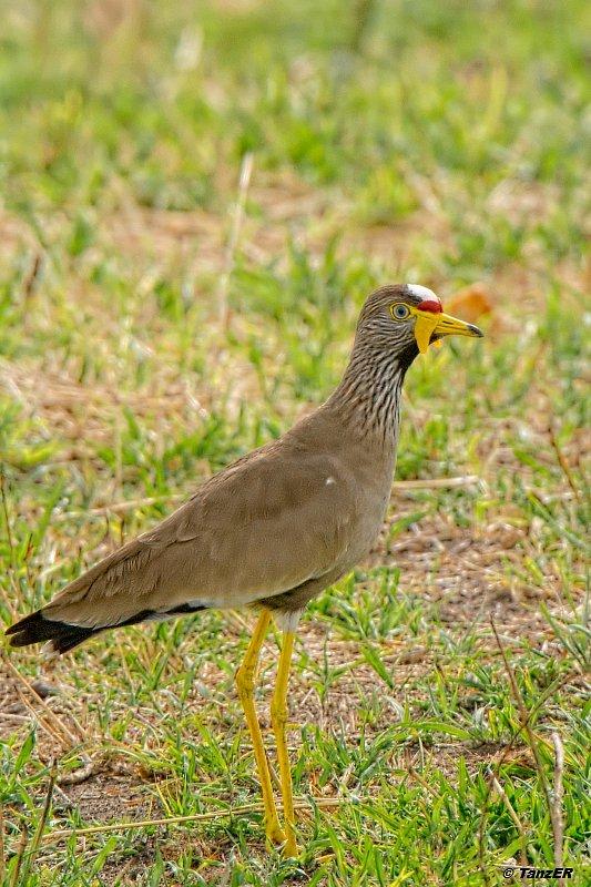 Senegal-Kiebitz/African Wattled Lapwing