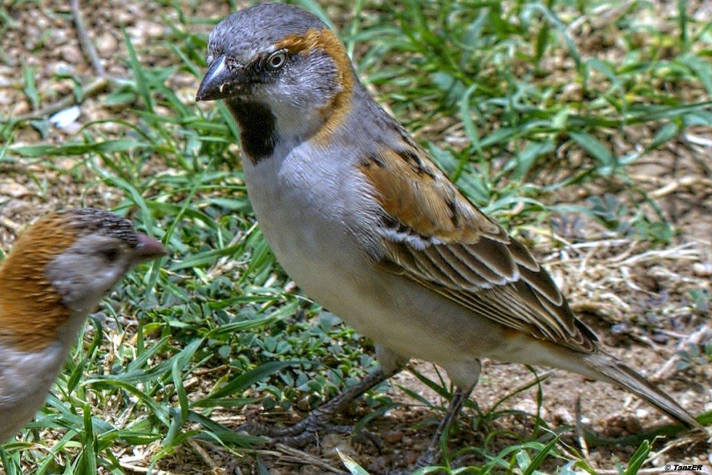 Keniasperling/Rufous Sparrow
