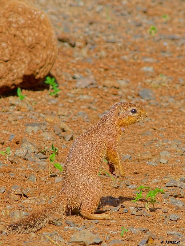 Buschhörnchen/Bush Squirrel