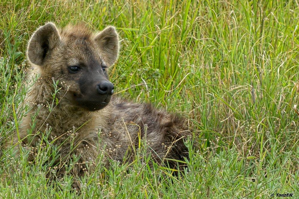 Hyäne/Hyena