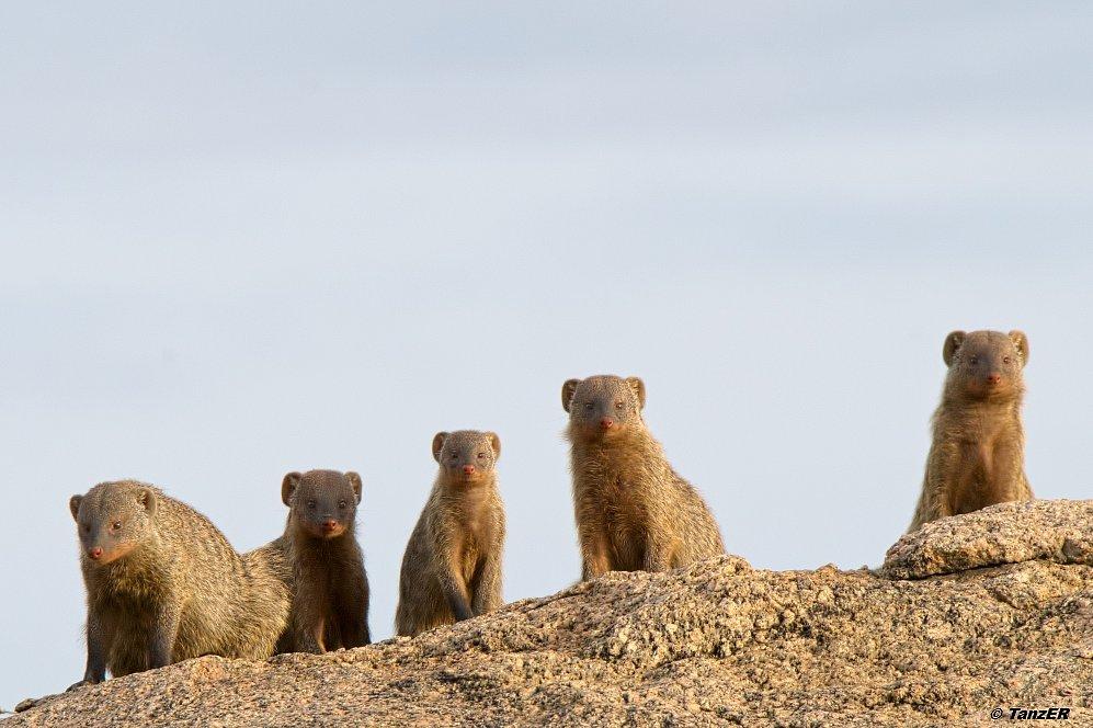 Zwergmanguste/Dwarf mongoose