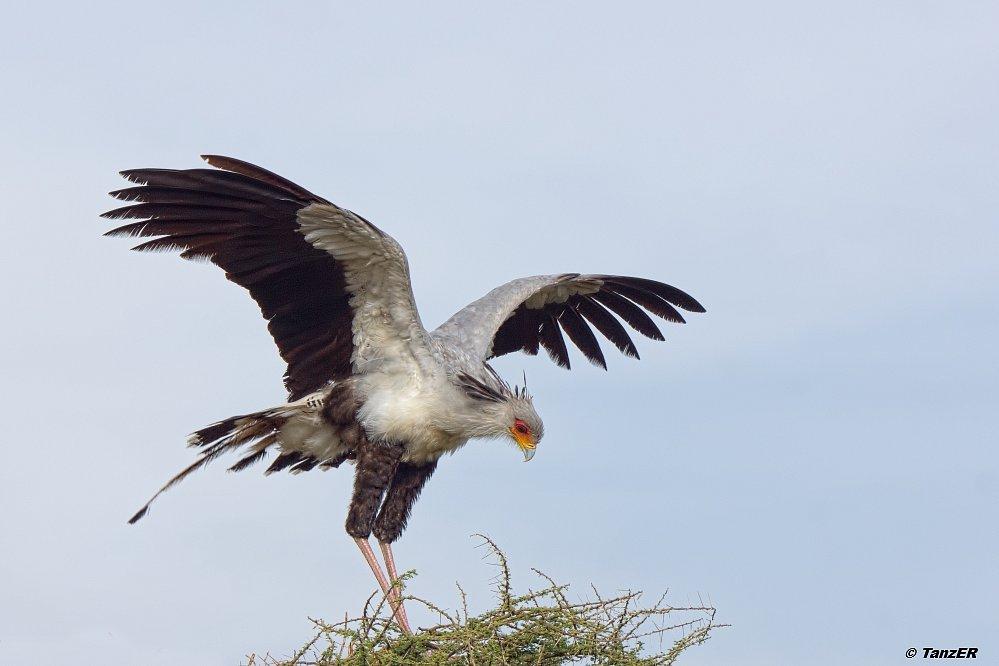 Sekretär/Secretary Bird