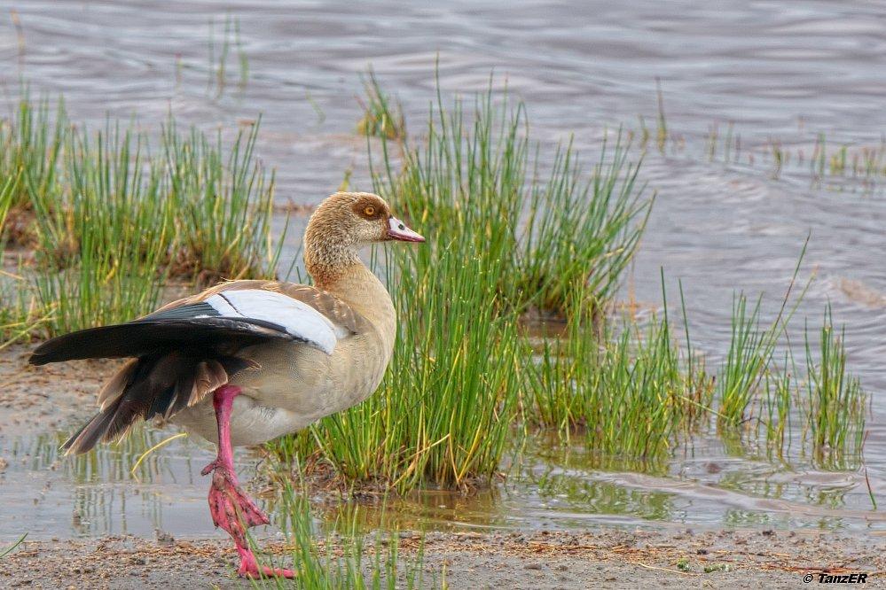 Nilgans/Egyptian Goose