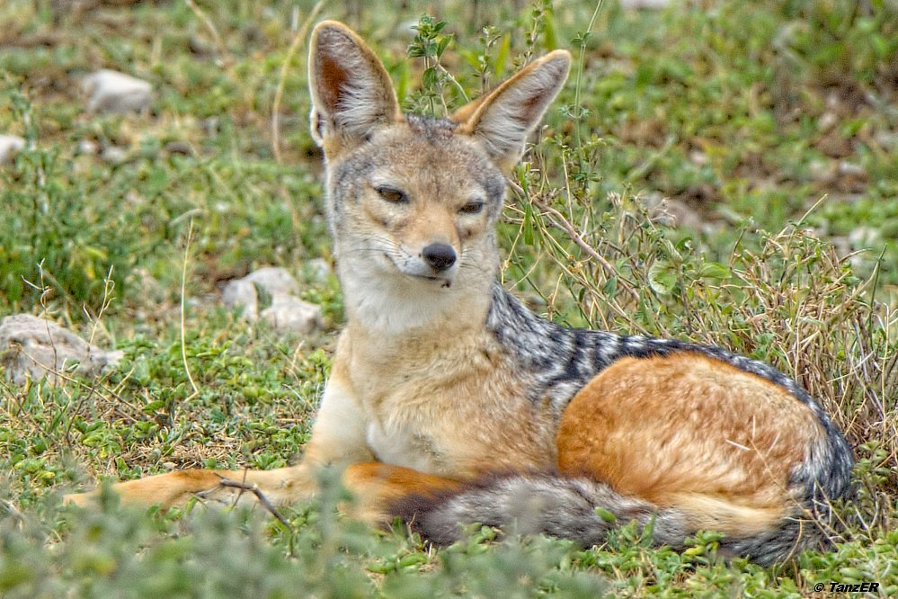 Schabrackenschakal/black-backed jackal