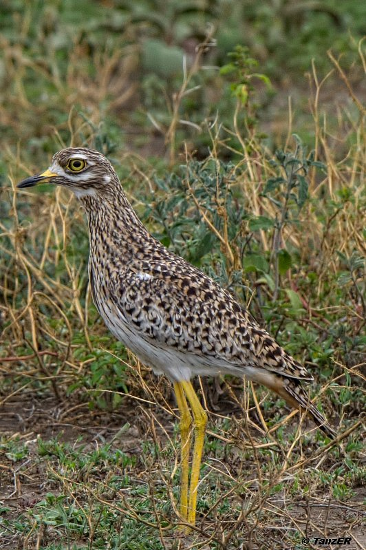 Kaptriel/Spotted thick-knee