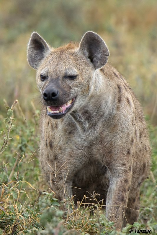 Tüpfelhyäne/Spotted hyena